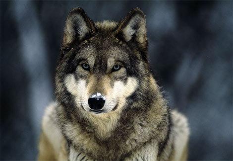 Como lobos mudam rios