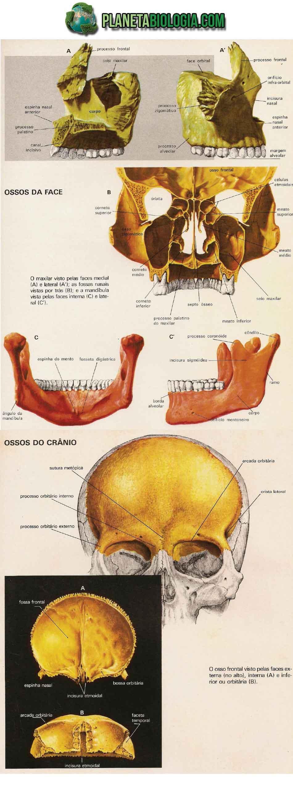 Ossos da cabeça humana