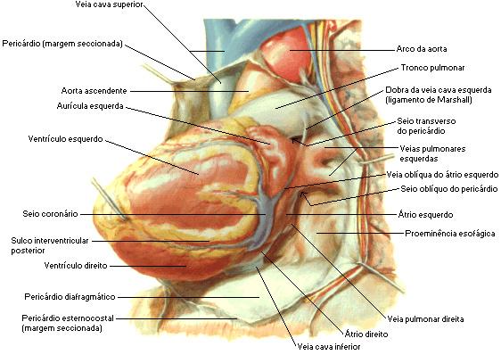 nomes das estruturas do coração