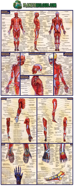 Atlas com os principais músculos do corpo humano
