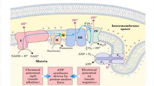 Metabolismo Heterotrófico