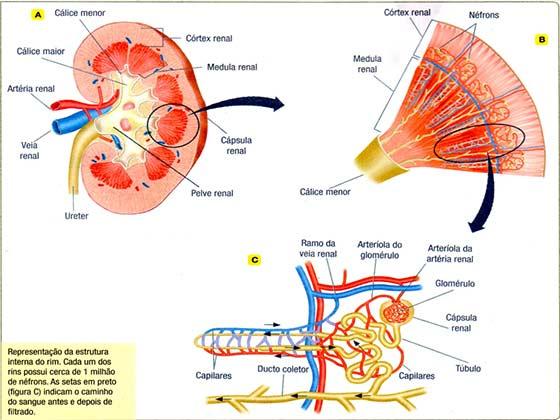 Função do sistema urinário