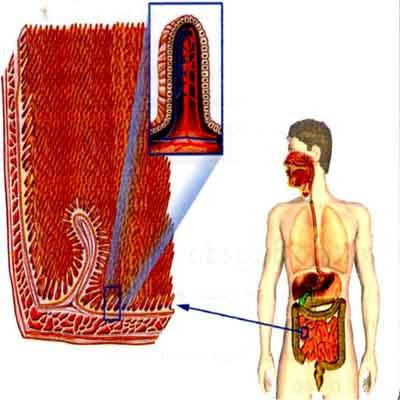 intestino delgad