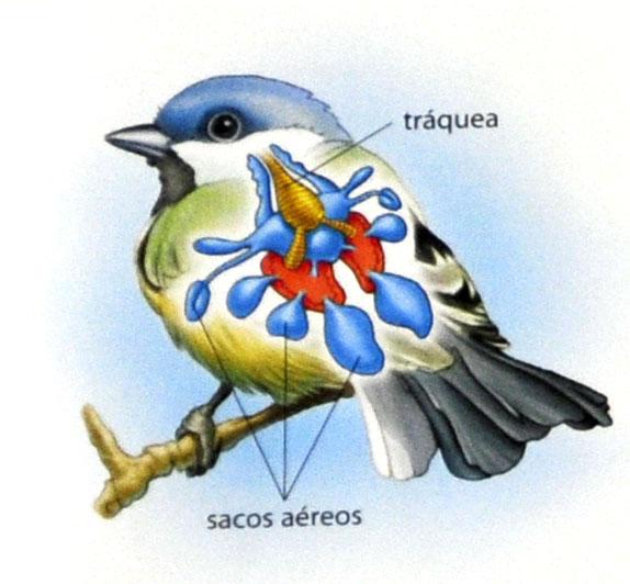 Adaptações ao voo das aves