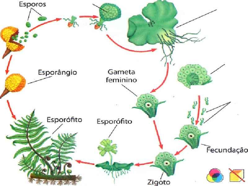 Plantas sem sementes - Reino Plantae