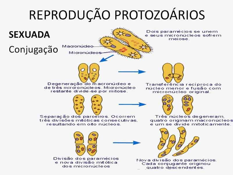 conjugação de protozoários