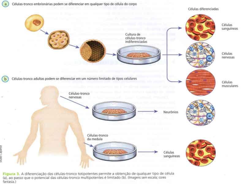 células totipotentes multipotentes unipotentes