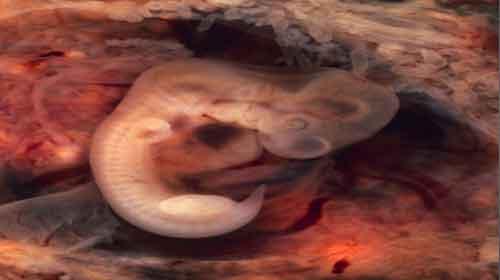 Formação dos órgãos do embrião
