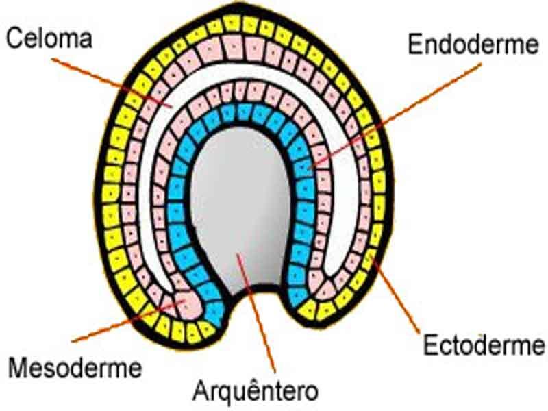 ectoderma mesoderma endoderma arquentâmero
