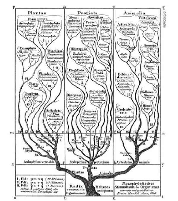 primeira árvore filogenética