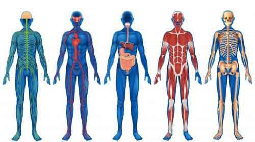 aparelhos do do corpo humano