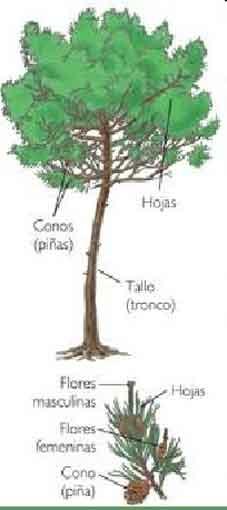 estrutura gimnospermas