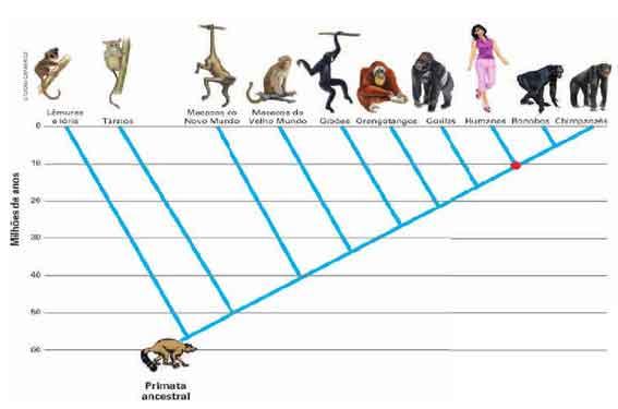 Classificação dos primatas