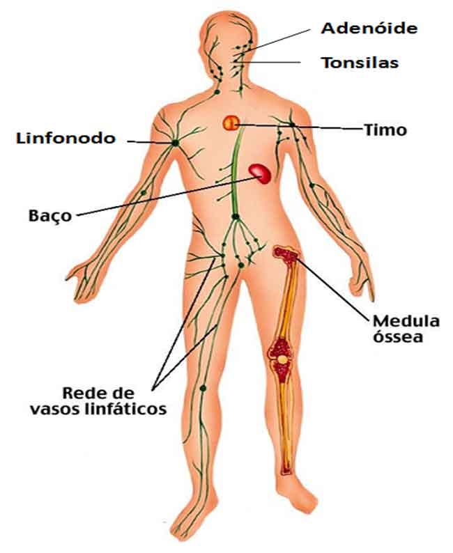 baço, o timo, o fígado, o apêndice, as tonsilas e a medula óssea