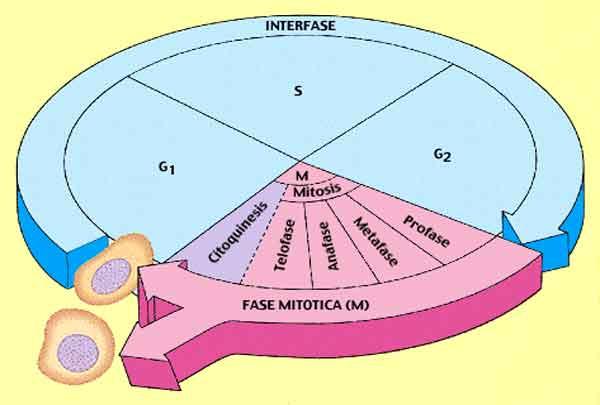 interfáse e fase mitotica
