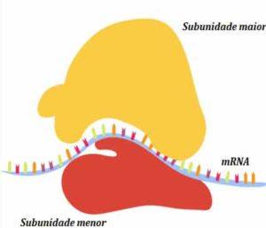 Ribossomo-é-composto-por-duas-subunidades
