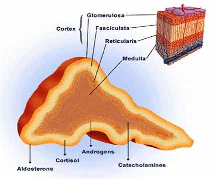 glândula supra renal