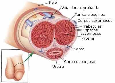 histologia do pênis