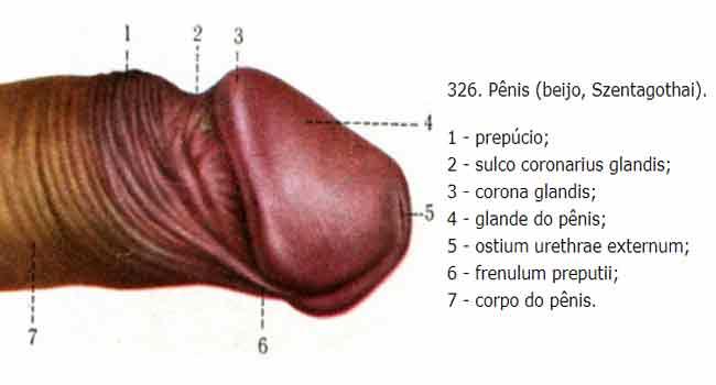 Anatomia do Pênis