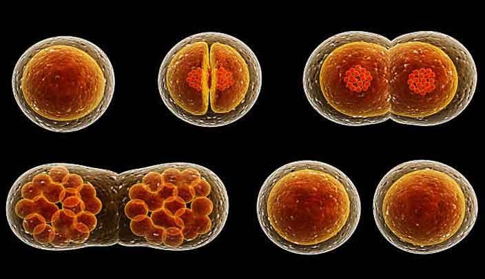 Entenda como a célula se divide e quais são os tipos de divisão celular