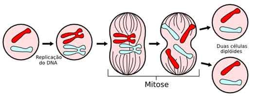 Divisão Celular Eucariótica: Mitose