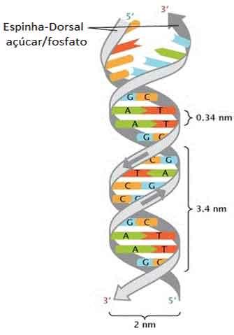 Replicação do DNA: Entenda o processo de duplicação do DNA