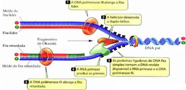 DNA ligase polimerase primers