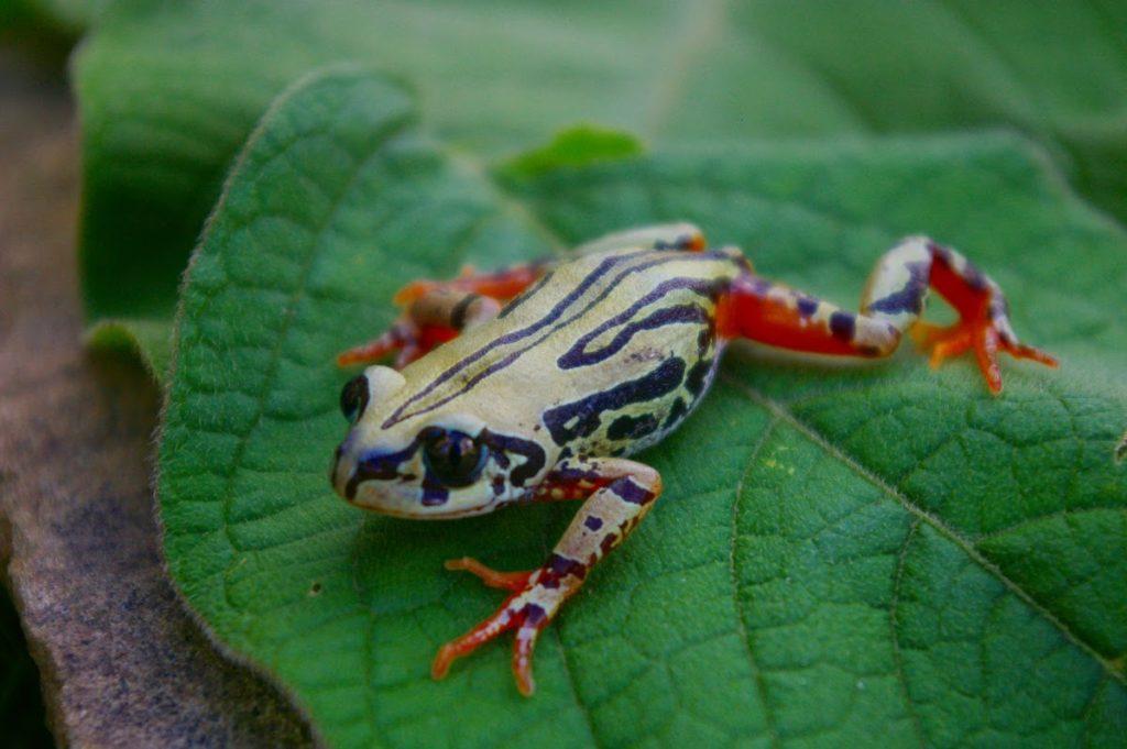 Weales-Running-Frog