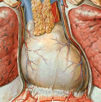Os pulmões e o coração