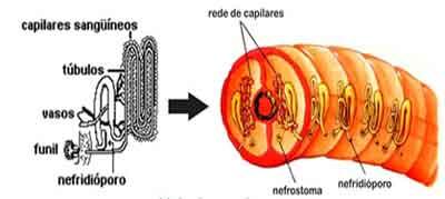 sistema excretor dos anelídeos