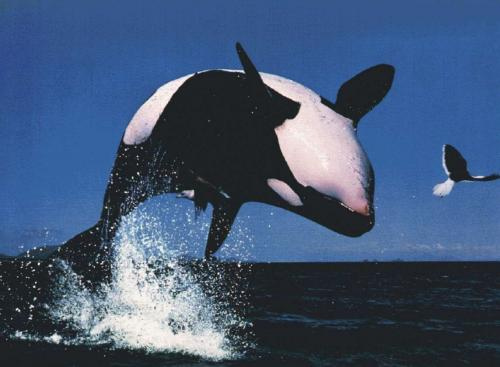 Orca, baleia assassina ou golfinho