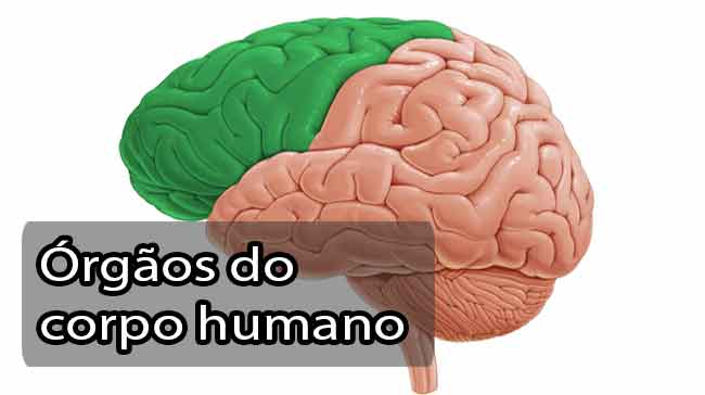 Foto de Os principais órgãos do corpo humano