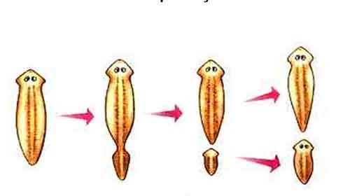 Foto de O que é Reprodução Assexuada – Tipos