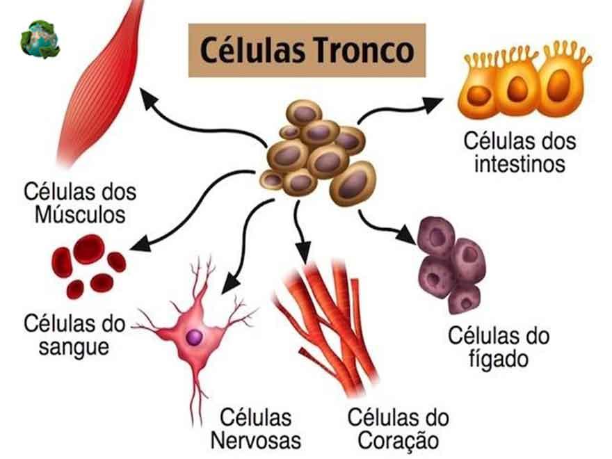 celulas-tronco
