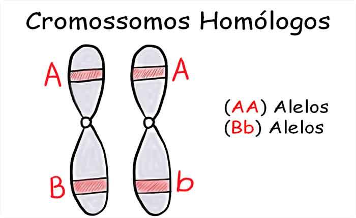 genes alelos, homozigoto heterozigoto, homozigoto