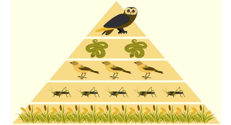 Foto de Pirâmide de Energia: definição, o que é.