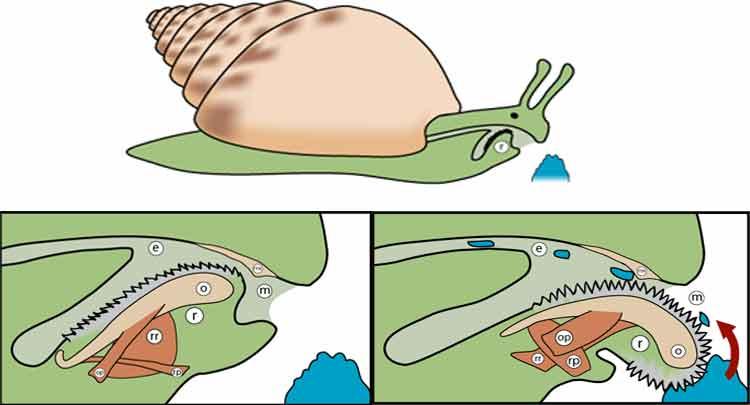 Veja qual é a função da rádula e como ela funciona
