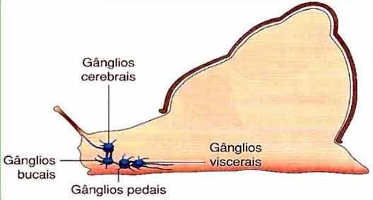 sistema nervoso dos moluscos é do tipo ganglionar