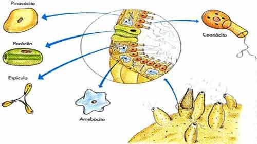 células dos poríferos - pinacócito