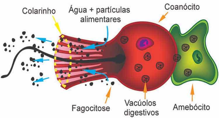 células dos poríferos