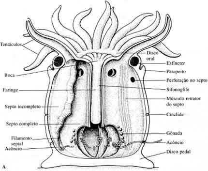 anatomia das anemonas
