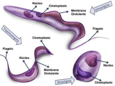 trypanosoma cruzi amastigota tripomastigota epimastigota
