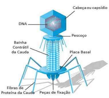 estrutura geral de um bacteriófago