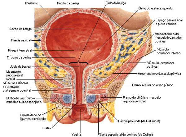 Fig 2 - Características anatômicas da bexiga.
