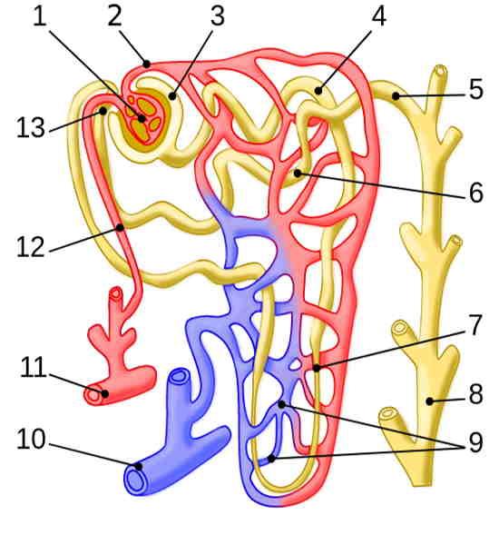 Estrutura básica de um néfron
