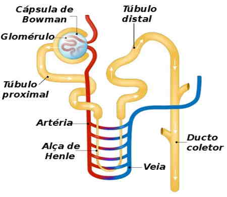 Néfron simplifica: do Alça de henle, tubo coletor proximal, tubo coletor distal, ducto coletor