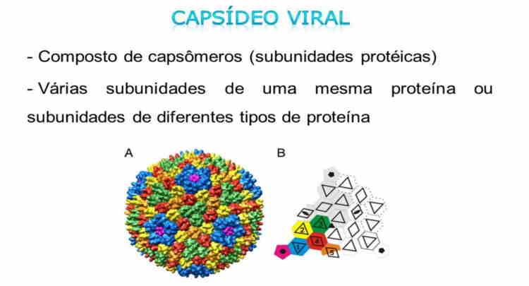 Estrutura e montagem do capsídeo viral