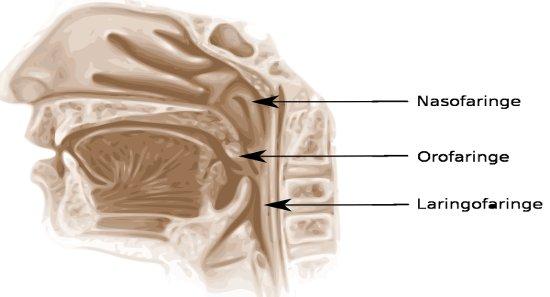 Veja a localização, função e anatomia da Nasofaringe