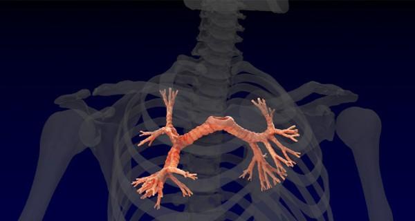 O que são brônquios, sua importância, os tipos localização no corpo humano