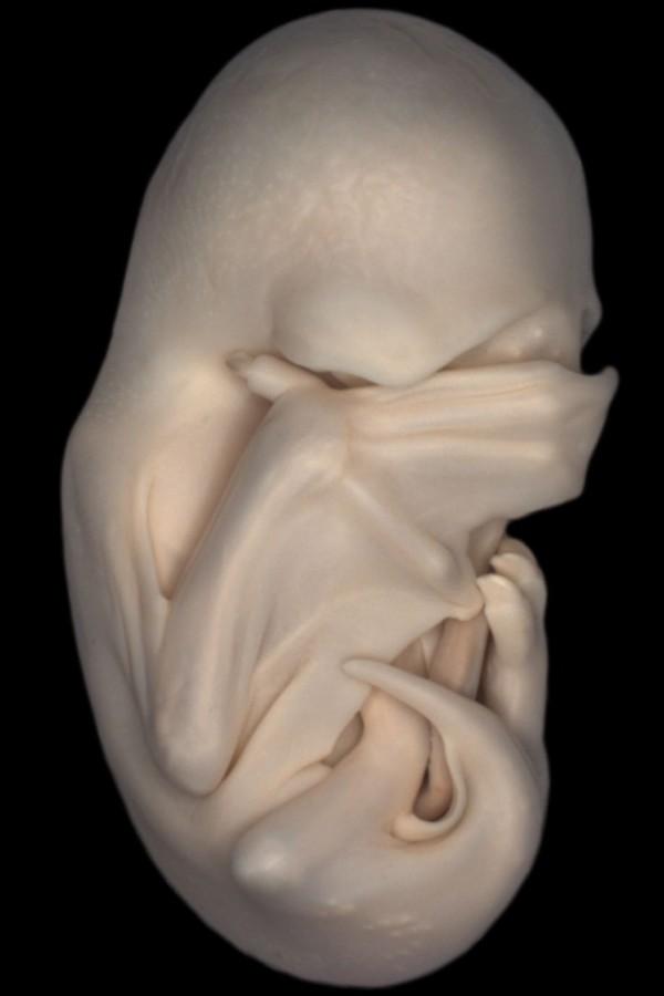 2. Embrião de morcego 9 imagens impressionantes feitas por microscópio